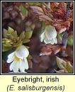 eyebright,irish (glanrosc gaelach)