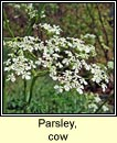 parsley,cow (pheirsil bhó)
