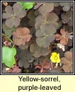 yellow-sorrel,purple-leaved