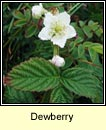 dewberry (eithreog)