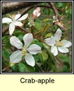 crab-apple (crann fia-úll)