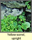 yellow-sorrel,upright (seamsóg ghallda)