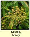 spurge,honey