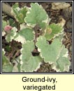 ground ivy,variegated