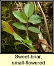 rose,sweet-briar,small-flowered (dris chumhra bheag)