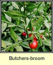 butchers-broom