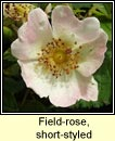 rose,short-styled field-rose (rós stíleach)