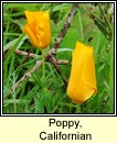 poppy,californian