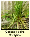 cabbage-palm