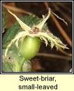 rose, sweet-briar,small-leaved (dris chumhra gheal)