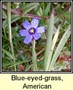 blue-eyed-grass,American