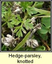 hedge-parsley,knotted (Lus na gcloch fuail)