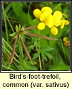 bird-foot-trefoil,common var