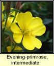 evening-primrose, common x large-flowered