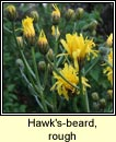 Hawk's-beard, rough (Lus cúráin garbh)