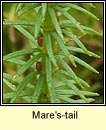 Mare's-tail (Colgrach)