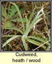 Cudweed, heath (Gnamhlus móna)