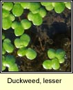 Duckweed, lesser / common (Ros lachan)