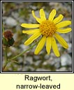 Ragwort, narrow-leaved