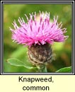 knapweed,common (mínscoth)