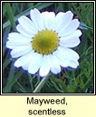 mayweed,scentless (meá drua)