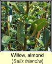 Willow, almond